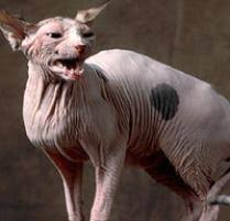 hairless cat price sphynx cat cat breeds petfinder