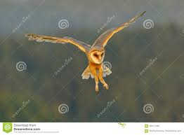 Barn Owl, Nice Light Bird In Flight, In The Grass, Outstretched ... This Galapagos Barn Owl Lives With Its Mate On A Shelf In The Baby Barn Owl Owls Pinterest Bird And Animal Magic Tito Alba Sitting On Stone Fence In Forest Barnowl Real Owls Echte Uilen Wikipedia Secret Kingdom Young Tyto Roost Stock Photo 206862550 Shutterstock 415 Best Birds Mostly Uk Images Feather Nature By Annette Mckinnnon 63 2 30 Bird Great Grey