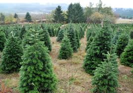 What Is The Best Christmas Tree Variety by How To Choose The Best Christmas Tree Pittsburgh Post Gazette