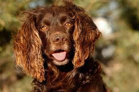Field Springer Spaniel Shedding by Best Hunting Dogs Gun Dogs Hunting Dog Breeds Field U0026 Stream