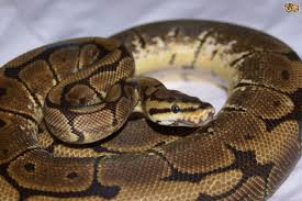 Ball Python Shedding Signs by Caring For A Ball Python Pets4homes