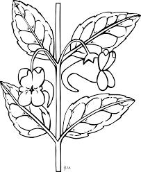 Coffee Plant Clipart Sampaguita