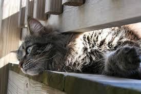 cats on deck cats and heartworm preventative figo pet insurance