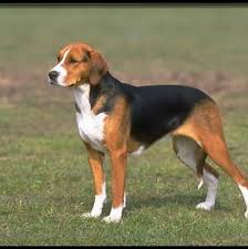 Do Bluetick Coonhounds Shed by 5 Do Walker Coonhounds Shed English Foxhound Favorite Pet