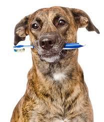 cat dental care pet dental services care el dorado animal hospital