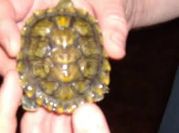 Turtle Shell Not Shedding by Faqs About Soft Shell Rot Conditions In Turtlesâ 1