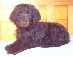 Do Newfoundlands Shed Hair by Best Newfypoo Puppies Newfoundland Poodle Mix Call 719 320 7146