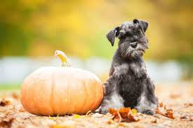 Pumpkin Puree For Dog Constipation by Why You Should Feed Your Dog Pumpkin