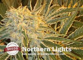 Buy Northern Lights Seeds Marijuana Strain Bargain Prices