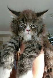 mountain cat best 25 mountain cat ideas on cat