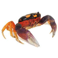 Halloween Hermit Crab Care by Buy Live Hermit Crabs Halloween Crabs And More