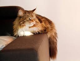 Do Maine Coons Shed In The Summer by What To Expect When You Own An Old Cat Care Com Community