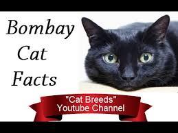 bombay cats bombay cat facts