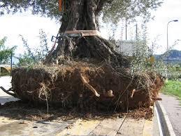la plantation de l olivier de provence mon olivier de provence