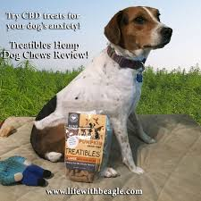 Do Treeing Walker Coonhounds Shed by Life With Beagle How Cbd Dog Treats From Treatibles Can Ease