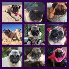 Do Pugs And Puggles Shed by Pugs Sos Posts Facebook