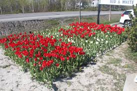 updated oh canada local school has tulip bed in shape of
