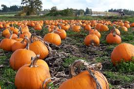 Pumpkin Farms Southern Illinois by How To Grow Pumpkins Farmview Market