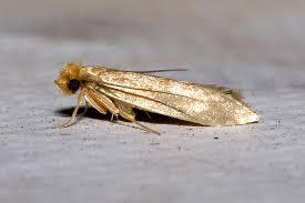 Clothes Moths Our mon Household Pest