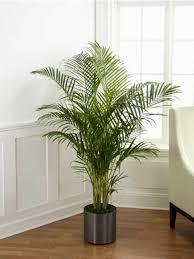 نخيل الأنواع نباتات داخلية جميلة جدا