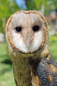 323 Best Barn Owls Images On Pinterest | Barn Owls, Children And ... Barn Owl Looking Over Shoulder Perched On Old Fence Post Stock Eccles Dinosaur Park Carnivore Carnival The Salt Project Barn Moving Head Side To Slow Motion Video Footage 323 Best Owls Images Pinterest Owls Children And Free Images Wing White Night Animal Wildlife Beak Predator 189 Beautiful Birds Sat A Falconers Glove Photo Royalty Image Paris Owl 150 Pictures Snowy More