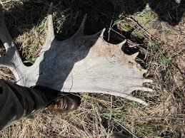 Moose Shed Antler Forums by Bwca Deer Shed Antlers Boundary Waters Listening Point General