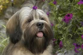 30 dogs that don t malt best uk non shedding breed list