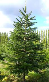 Fresh Christmas Trees Types by A Guide To Common Types Of Christmas Trees Northwest Arbor