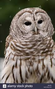 Barred Eagle Owl Stock Photos & Barred Eagle Owl Stock Images - Alamy Amazing Barn Owl Nocturnal Facts About Wild Animals Barn Owl By David Cooke For Sale The Sculpture Parkcom Rhodium Comes To Canada With Its Striking New Nocturnal Nature Flying Wallpapersbirds Unique Hd Wallpapers Owls In Kuala Lumpur Bird Park Stock Photo Image 87325150 Biocontrol View Common In Malaysia Sekinchan Paddy Field Youtube Another Blog Farmers Friend Bear With Him Girl Mom Birds Of World Owls