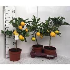 zitronenbaum meyer 30 cm ohne früchte kaufland de