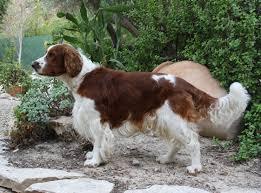 Field Springer Spaniel Shedding by Welsh Springer Spaniel Dog Justadogg