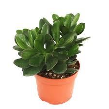crassula portulacea geldbaum große pflanze im 12cm topf
