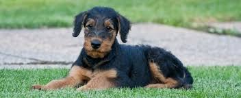 Do Airedale Puppies Shed by Airedale Puppies Petplace