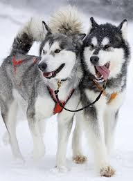 alaskan malamutes what s good about em what s bad about em