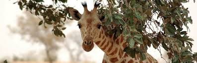 West African Giraffe Facts And Information