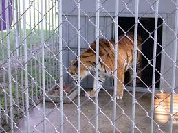 A Judge Has Barred Louisiana Wildlife From Re Issuing Tiger Truck ...
