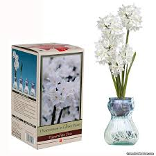 paperwhite in glass vase narcissus american