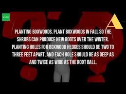 how far apart do you plant boxwood hedges