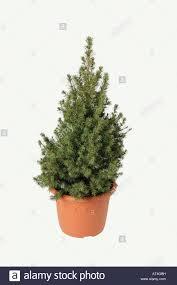 Christmas Tree Seedlings by Bonsai Small Conifer Needle Tree Plant Pot Tree Stock Photo
