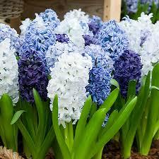 blue mix hyacinth bulbs buy bulk hyacinth bulbs at edenbrothers
