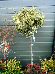 Christmas Tree Aphids Uk by Trees For Containers English Woodlands Burrow Nursery Blog