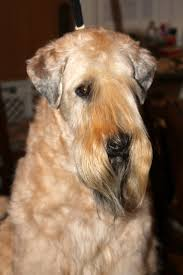 Do Wheaten Terrier Puppies Shed by 72 Best Soft Coated Wheaton Terrier Images On Pinterest Terriers