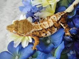 Crested Gecko Shedding Behavior by 34 Best Gecko U0027s Images On Pinterest Crested Gecko Geckos