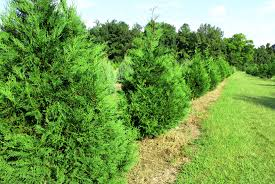 Leyland Cypress Christmas Tree Farm by Lebanon Christmas Tree Farm Family Owned Since 1985 Christmas