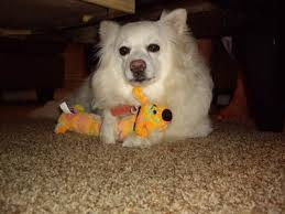 american eskimo dog eskimo spitz breed pictures info petmd