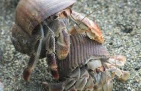 Do Hermit Crabs Shed Their Body by Hermit Crabs Thinglink