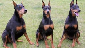 Do Miniature Doberman Pinschers Shed by Top 10 Most Amazing Facts About Doberman Pinschers Youtube Youtube