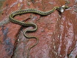 Wandering Garter Snakes Get Their Name From The Belief That They Tend To Travel Further Water Than Other But Studies Have Found Them