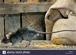 Black Rat (Rattus Rattus) In Barn Running Past Bag Of Cereals At ... Farmer Saves Rat From Death In Her Own Barn Redwood Coast Aazk Rat Poison Alternatives Mouse Poop Droppings Victor The Chicken Chick 15 Tips To Control Rodents Around Coops Black Rattus Rattus Foraging Of Farm Stock Photo Barn Owl About Enter Its Nest Carrying A Dead For Young Nose Work Hunt 44094 Kangaroo Rats San Diego Zoo Institute Cservation Research Mice And New York The Barn Rat Blog Remains Found Within The Wall During