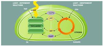 Light Dependent Reactions Definition